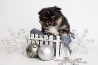 puppy241 week5 BowTiePomsky.com Bowtie Pomsky Puppy For Sale Husky Pomeranian Mini Dog Spokane WA Breeder Blue Eyes Pomskies Celebrity Puppy web3