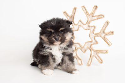 puppy241 week5 BowTiePomsky.com Bowtie Pomsky Puppy For Sale Husky Pomeranian Mini Dog Spokane WA Breeder Blue Eyes Pomskies Celebrity Puppy web5