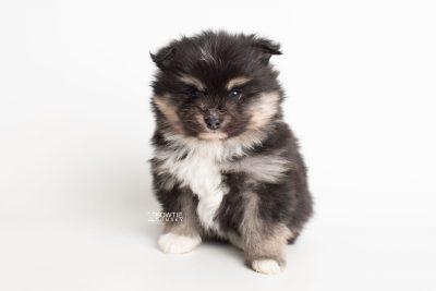 puppy241 week5 BowTiePomsky.com Bowtie Pomsky Puppy For Sale Husky Pomeranian Mini Dog Spokane WA Breeder Blue Eyes Pomskies Celebrity Puppy web6