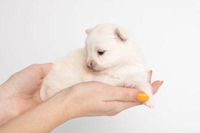 puppy242 week3 BowTiePomsky.com Bowtie Pomsky Puppy For Sale Husky Pomeranian Mini Dog Spokane WA Breeder Blue Eyes Pomskies Celebrity Puppy web7