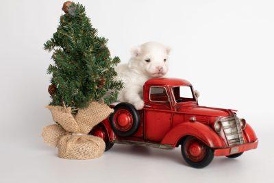 puppy242 week3 BowTiePomsky.com Bowtie Pomsky Puppy For Sale Husky Pomeranian Mini Dog Spokane WA Breeder Blue Eyes Pomskies Celebrity Puppy web8