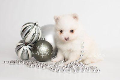 puppy242 week5 BowTiePomsky.com Bowtie Pomsky Puppy For Sale Husky Pomeranian Mini Dog Spokane WA Breeder Blue Eyes Pomskies Celebrity Puppy web4
