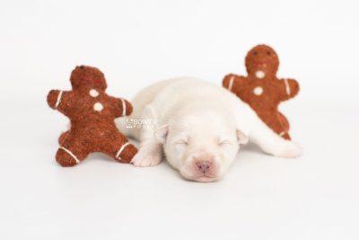 puppy244 week1 BowTiePomsky.com Bowtie Pomsky Puppy For Sale Husky Pomeranian Mini Dog Spokane WA Breeder Blue Eyes Pomskies Celebrity Puppy web3