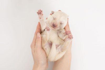 puppy244 week1 BowTiePomsky.com Bowtie Pomsky Puppy For Sale Husky Pomeranian Mini Dog Spokane WA Breeder Blue Eyes Pomskies Celebrity Puppy web7