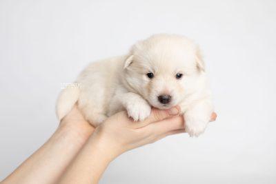 puppy244 week3 BowTiePomsky.com Bowtie Pomsky Puppy For Sale Husky Pomeranian Mini Dog Spokane WA Breeder Blue Eyes Pomskies Celebrity Puppy web8