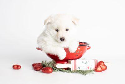 puppy244 week5 BowTiePomsky.com Bowtie Pomsky Puppy For Sale Husky Pomeranian Mini Dog Spokane WA Breeder Blue Eyes Pomskies Celebrity Puppy web1