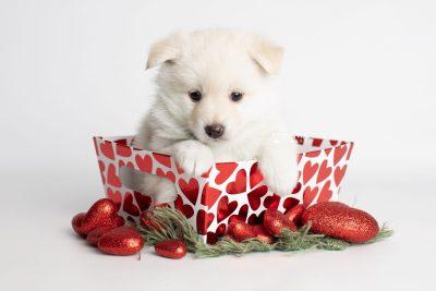 puppy244 week5 BowTiePomsky.com Bowtie Pomsky Puppy For Sale Husky Pomeranian Mini Dog Spokane WA Breeder Blue Eyes Pomskies Celebrity Puppy web3