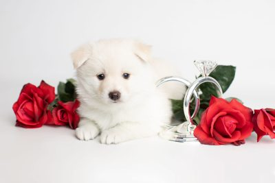puppy244 week5 BowTiePomsky.com Bowtie Pomsky Puppy For Sale Husky Pomeranian Mini Dog Spokane WA Breeder Blue Eyes Pomskies Celebrity Puppy web5