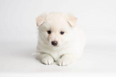 puppy244 week5 BowTiePomsky.com Bowtie Pomsky Puppy For Sale Husky Pomeranian Mini Dog Spokane WA Breeder Blue Eyes Pomskies Celebrity Puppy web6