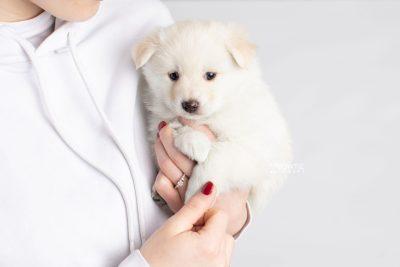 puppy244 week5 BowTiePomsky.com Bowtie Pomsky Puppy For Sale Husky Pomeranian Mini Dog Spokane WA Breeder Blue Eyes Pomskies Celebrity Puppy web7