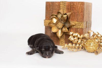 puppy245 week1 BowTiePomsky.com Bowtie Pomsky Puppy For Sale Husky Pomeranian Mini Dog Spokane WA Breeder Blue Eyes Pomskies Celebrity Puppy web1