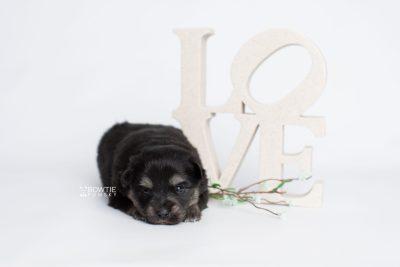 puppy245 week3 BowTiePomsky.com Bowtie Pomsky Puppy For Sale Husky Pomeranian Mini Dog Spokane WA Breeder Blue Eyes Pomskies Celebrity Puppy web3