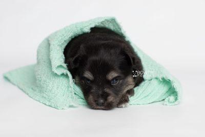 puppy245 week3 BowTiePomsky.com Bowtie Pomsky Puppy For Sale Husky Pomeranian Mini Dog Spokane WA Breeder Blue Eyes Pomskies Celebrity Puppy web6