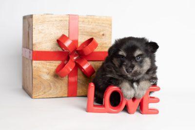 puppy245 week5 BowTiePomsky.com Bowtie Pomsky Puppy For Sale Husky Pomeranian Mini Dog Spokane WA Breeder Blue Eyes Pomskies Celebrity Puppy web3