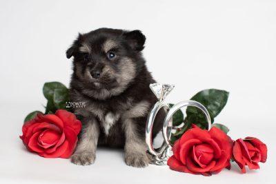 puppy245 week5 BowTiePomsky.com Bowtie Pomsky Puppy For Sale Husky Pomeranian Mini Dog Spokane WA Breeder Blue Eyes Pomskies Celebrity Puppy web6