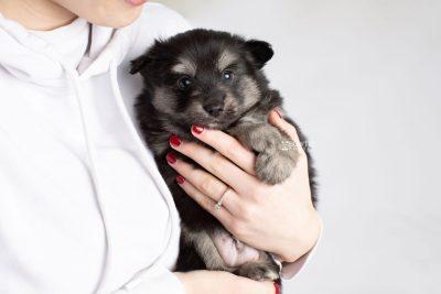 puppy245 week5 BowTiePomsky.com Bowtie Pomsky Puppy For Sale Husky Pomeranian Mini Dog Spokane WA Breeder Blue Eyes Pomskies Celebrity Puppy web7