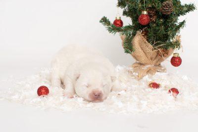 puppy246 week1 BowTiePomsky.com Bowtie Pomsky Puppy For Sale Husky Pomeranian Mini Dog Spokane WA Breeder Blue Eyes Pomskies Celebrity Puppy web5
