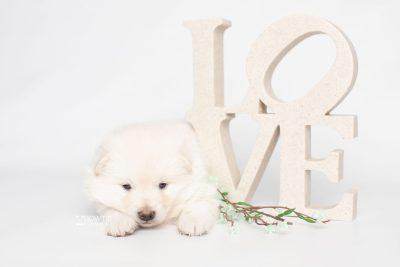 puppy246 week3 BowTiePomsky.com Bowtie Pomsky Puppy For Sale Husky Pomeranian Mini Dog Spokane WA Breeder Blue Eyes Pomskies Celebrity Puppy web3