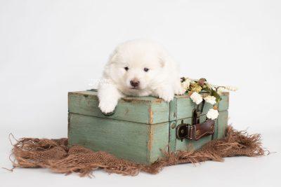 puppy246 week3 BowTiePomsky.com Bowtie Pomsky Puppy For Sale Husky Pomeranian Mini Dog Spokane WA Breeder Blue Eyes Pomskies Celebrity Puppy web5
