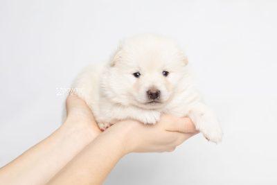puppy246 week3 BowTiePomsky.com Bowtie Pomsky Puppy For Sale Husky Pomeranian Mini Dog Spokane WA Breeder Blue Eyes Pomskies Celebrity Puppy web8