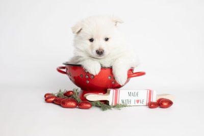 puppy246 week5 BowTiePomsky.com Bowtie Pomsky Puppy For Sale Husky Pomeranian Mini Dog Spokane WA Breeder Blue Eyes Pomskies Celebrity Puppy web1