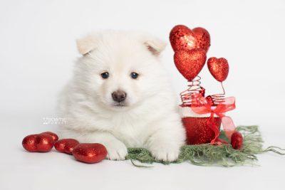 puppy246 week5 BowTiePomsky.com Bowtie Pomsky Puppy For Sale Husky Pomeranian Mini Dog Spokane WA Breeder Blue Eyes Pomskies Celebrity Puppy web2