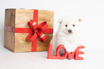 puppy246 week5 BowTiePomsky.com Bowtie Pomsky Puppy For Sale Husky Pomeranian Mini Dog Spokane WA Breeder Blue Eyes Pomskies Celebrity Puppy web5