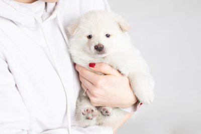 puppy246 week5 BowTiePomsky.com Bowtie Pomsky Puppy For Sale Husky Pomeranian Mini Dog Spokane WA Breeder Blue Eyes Pomskies Celebrity Puppy web7