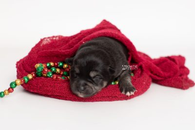 puppy247 week1 BowTiePomsky.com Bowtie Pomsky Puppy For Sale Husky Pomeranian Mini Dog Spokane WA Breeder Blue Eyes Pomskies Celebrity Puppy web2