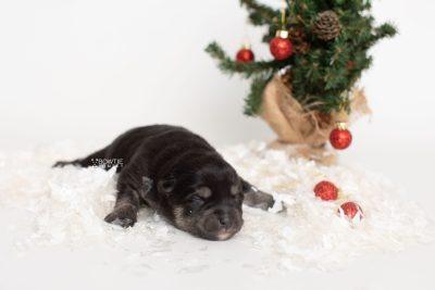 puppy247 week1 BowTiePomsky.com Bowtie Pomsky Puppy For Sale Husky Pomeranian Mini Dog Spokane WA Breeder Blue Eyes Pomskies Celebrity Puppy web8