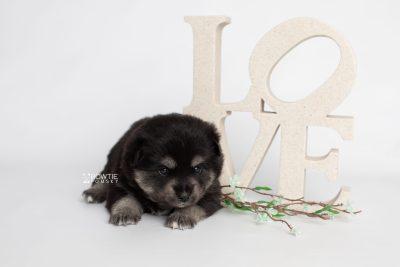 puppy247 week3 BowTiePomsky.com Bowtie Pomsky Puppy For Sale Husky Pomeranian Mini Dog Spokane WA Breeder Blue Eyes Pomskies Celebrity Puppy web3