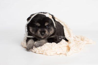 puppy247 week3 BowTiePomsky.com Bowtie Pomsky Puppy For Sale Husky Pomeranian Mini Dog Spokane WA Breeder Blue Eyes Pomskies Celebrity Puppy web5