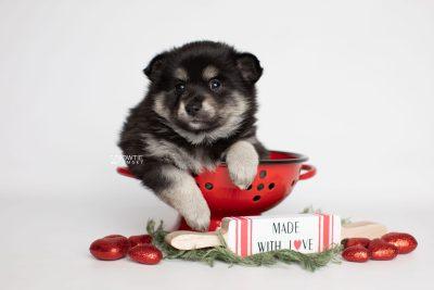 puppy247 week5 BowTiePomsky.com Bowtie Pomsky Puppy For Sale Husky Pomeranian Mini Dog Spokane WA Breeder Blue Eyes Pomskies Celebrity Puppy web1