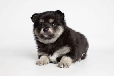 puppy247 week5 BowTiePomsky.com Bowtie Pomsky Puppy For Sale Husky Pomeranian Mini Dog Spokane WA Breeder Blue Eyes Pomskies Celebrity Puppy web4