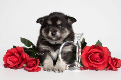 puppy247 week5 BowTiePomsky.com Bowtie Pomsky Puppy For Sale Husky Pomeranian Mini Dog Spokane WA Breeder Blue Eyes Pomskies Celebrity Puppy web6