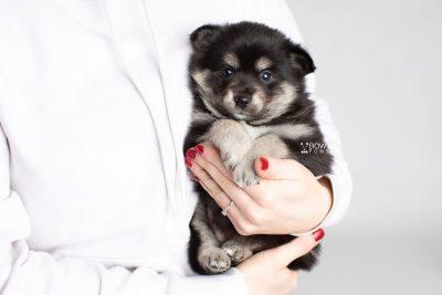 puppy247 week5 BowTiePomsky.com Bowtie Pomsky Puppy For Sale Husky Pomeranian Mini Dog Spokane WA Breeder Blue Eyes Pomskies Celebrity Puppy web7