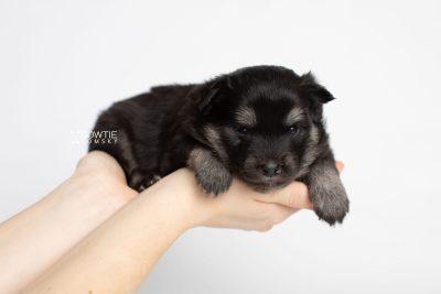puppy249 week3 BowTiePomsky.com Bowtie Pomsky Puppy For Sale Husky Pomeranian Mini Dog Spokane WA Breeder Blue Eyes Pomskies Celebrity Puppy web8
