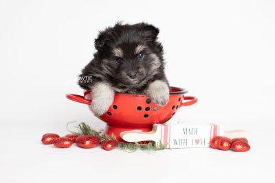 puppy249 week5 BowTiePomsky.com Bowtie Pomsky Puppy For Sale Husky Pomeranian Mini Dog Spokane WA Breeder Blue Eyes Pomskies Celebrity Puppy web1