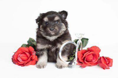 puppy249 week5 BowTiePomsky.com Bowtie Pomsky Puppy For Sale Husky Pomeranian Mini Dog Spokane WA Breeder Blue Eyes Pomskies Celebrity Puppy web5