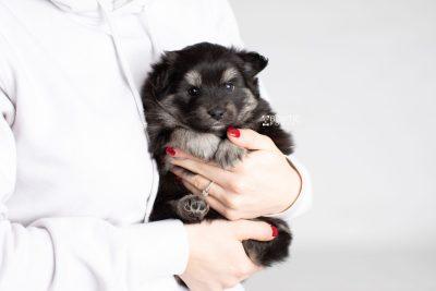 puppy249 week5 BowTiePomsky.com Bowtie Pomsky Puppy For Sale Husky Pomeranian Mini Dog Spokane WA Breeder Blue Eyes Pomskies Celebrity Puppy web7