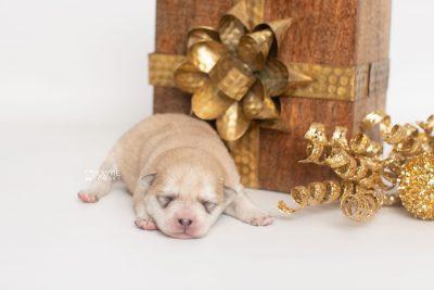 puppy250 week1 BowTiePomsky.com Bowtie Pomsky Puppy For Sale Husky Pomeranian Mini Dog Spokane WA Breeder Blue Eyes Pomskies Celebrity Puppy web1