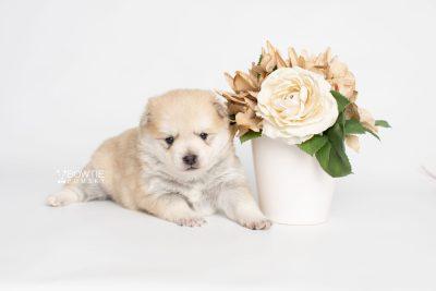 puppy250 week3 BowTiePomsky.com Bowtie Pomsky Puppy For Sale Husky Pomeranian Mini Dog Spokane WA Breeder Blue Eyes Pomskies Celebrity Puppy web2