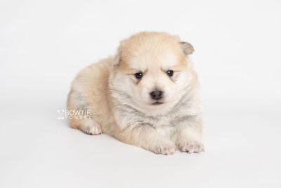 puppy250 week3 BowTiePomsky.com Bowtie Pomsky Puppy For Sale Husky Pomeranian Mini Dog Spokane WA Breeder Blue Eyes Pomskies Celebrity Puppy web6