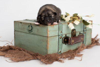 puppy253 week1 BowTiePomsky.com Bowtie Pomsky Puppy For Sale Husky Pomeranian Mini Dog Spokane WA Breeder Blue Eyes Pomskies Celebrity Puppy web1