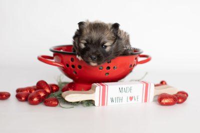 puppy253 week3 BowTiePomsky.com Bowtie Pomsky Puppy For Sale Husky Pomeranian Mini Dog Spokane WA Breeder Blue Eyes Pomskies Celebrity Puppy web1