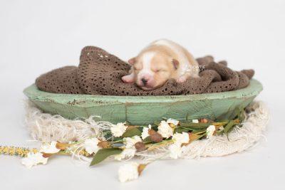 puppy254 week1 BowTiePomsky.com Bowtie Pomsky Puppy For Sale Husky Pomeranian Mini Dog Spokane WA Breeder Blue Eyes Pomskies Celebrity Puppy web2