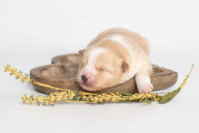 puppy254 week1 BowTiePomsky.com Bowtie Pomsky Puppy For Sale Husky Pomeranian Mini Dog Spokane WA Breeder Blue Eyes Pomskies Celebrity Puppy web4