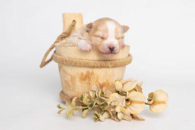 puppy254 week1 BowTiePomsky.com Bowtie Pomsky Puppy For Sale Husky Pomeranian Mini Dog Spokane WA Breeder Blue Eyes Pomskies Celebrity Puppy web5