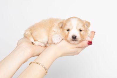 puppy254 week3 BowTiePomsky.com Bowtie Pomsky Puppy For Sale Husky Pomeranian Mini Dog Spokane WA Breeder Blue Eyes Pomskies Celebrity Puppy web7