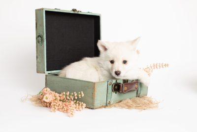 puppy244 week7 BowTiePomsky.com Bowtie Pomsky Puppy For Sale Husky Pomeranian Mini Dog Spokane WA Breeder Blue Eyes Pomskies Celebrity Puppy web1